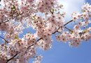 When Is the Best Time to Prune a Kwanzan Cherry Tree?