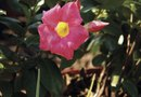 How to Grow Dipladenia Flowers