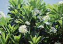 How to Prune Flowering Plumeria Stems