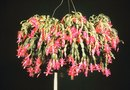 How to Train a Standard Fuchsia Tree