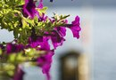 What Causes Petunias to Die or Not Thrive?