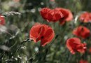 Why Are the Lower Leaves of Poppies Browning?