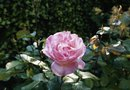Plants That Complement a Knockout Rose