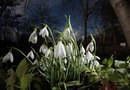 When Do Snowdrops Bloom?