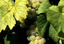 What About Using Horse Manure Around Grape Vines?