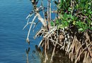 How to Grow Mangroves From Seeds