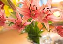 Best Ways to Care for the Asiatic Lily