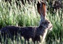 How Do Cottontail Rabbits Affect a Lawn & Yard?