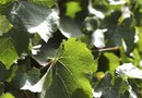 How to Eliminate Wild Grape Weeds