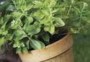 How to Trim Tall Sedum