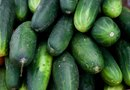 How to Stake Cucumbers