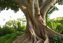 How to Separate the Roots of a Ficus Tree