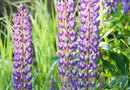 How to Grow Lupines From Cuttings