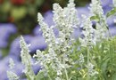 Cottage Gardens and Zone 8 Perennials