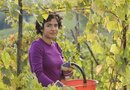 When Do You Prune a Grape Arbor?