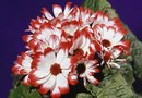 Is Cineraria a Perennial?