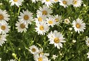 Characteristics of Daisy Flowers