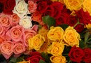 Differences in the Varieties of Roses