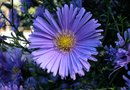 How Tall Can Asters Grow?