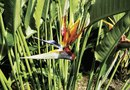 White Bird of Paradise Diseases