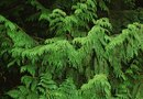 Interesting Facts About the Western Sword Fern