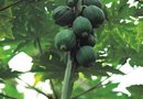 What Months Are Papaya Trees Ready for Picking?