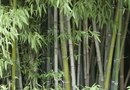 Do Bamboo Plants Need a Lot of Water?