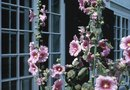 When Should You Cut Back Hollyhocks?