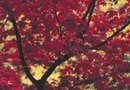 Red Maple Tree Varieties