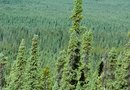 Characteristics of a Coniferous Tree