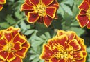 How to Trim Marigolds