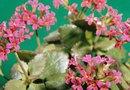 How to Make Kalanchoe Cuttings