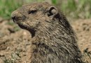 Will Castor Oil Get Rid of Woodchucks?