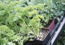 How to Transplant Parsley That Has a Long Weak Stem