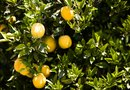 How to Fertilize Citrus Container Plants