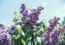 Growth Problems for a Purple Lilac