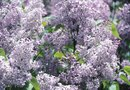 Care of Persian Lilac