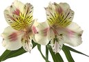 Are Peruvian Lilies Poisonous Flowers for Cats?