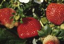 What Grows Well With Strawberries?