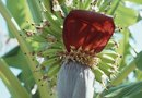 How Are Banana Trees & Giant Birds of Paradise Different?