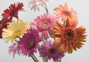 How to Promote New Buds on Gerbera Daisies