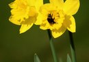 How to Deadhead Daffodils & Lilies