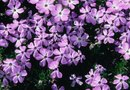 What Is the Difference Between Alyssum & Creeping Phlox?
