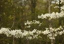 How to Grow Dogwood From a Branch
