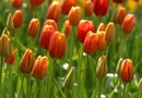 Tulip Bulbs & Pests
