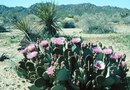 How to Plant the Cutoffs of a Prickly Pear Cactus
