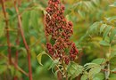 Staghorn Sumac Tree Facts
