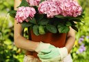 How to Grow Begonias in Pots