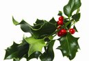 Can Cutting Back a Holly Bush Kill It?