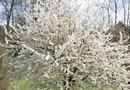 Black Tartarian Dwarf Cherry Tree Requirements